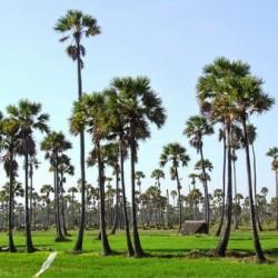 Palm Tree (Borassus flabellifer): The National Tree of Cambodia