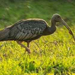 Tror Yorng (Giant Ibis): The National Bird of Cambodia