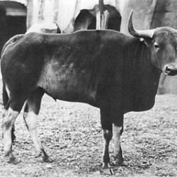 Kouprey (Wild Ox): The National Mammal of Cambodia